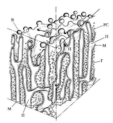 Схема строения каналов и полостей гранулярного эндоплазматического ретикулума.  PC - рибосомы, прикрепленные к...