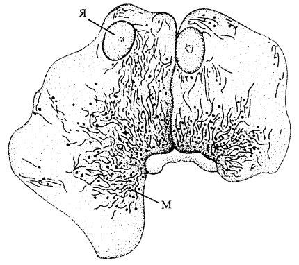 Митохондрии в клетках печени