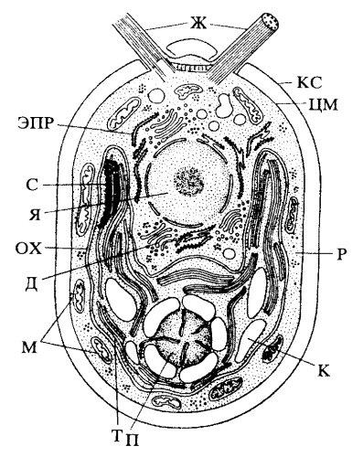 Схема строения клетки хламидомонады.  П - пиреноид; К - крахмал; КС - клеточная стенка; ЦМ - плазмалемма; ОХ...