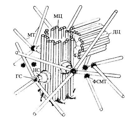 Схема строения диплосомы