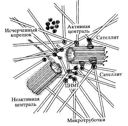 Клеточный центр.