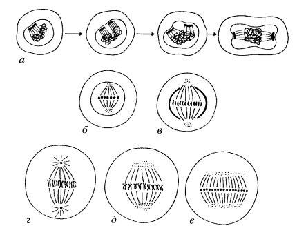 Типы митотического деления
