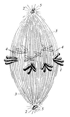 Схема строения веретена