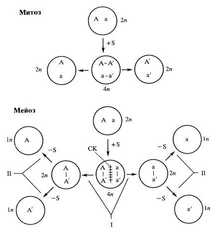 (А и а) в митозе и мейозе